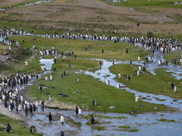 Fortuna Bay - colonia di king penguins
