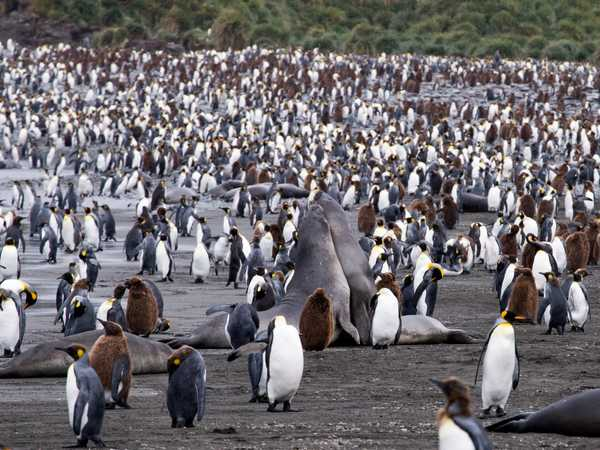 Ocean Harbour - elefanti di mare e king penguins