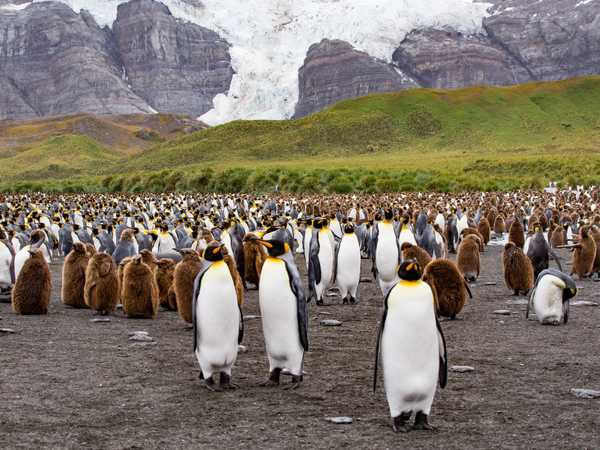 Ocean Harbour - king penguins con i piccoli, con peluria marrone