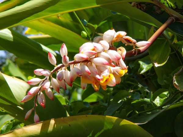 Ginger flower - Maui Botanical Garden