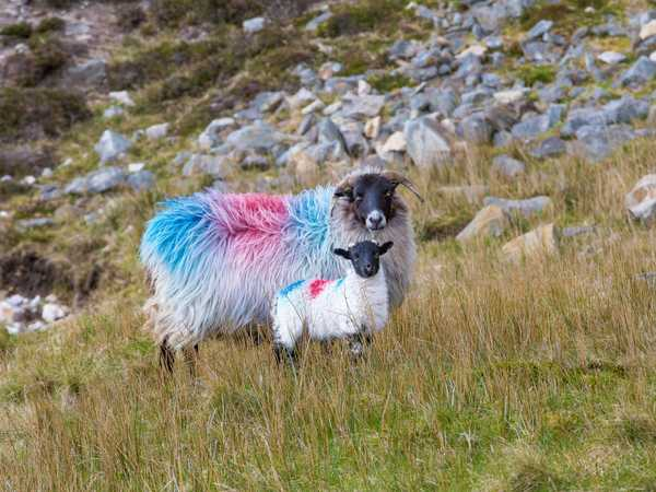 Irish sheep colorate con i colori che identificano la proprietà